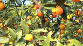 アレンジ自在! ビタミンたっぷりの天然サプリ・完熟キンカン「たまたま」