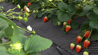 從東京都心出發只要2小時! 「日光 Strawberry Park」當季草莓吃到飽