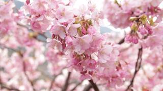 美不勝收!4km櫻花步道「河津櫻花祭」 早一步賞櫻去