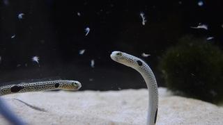 11月11日はチンアナゴの日!京都水族館で特別イベント開催