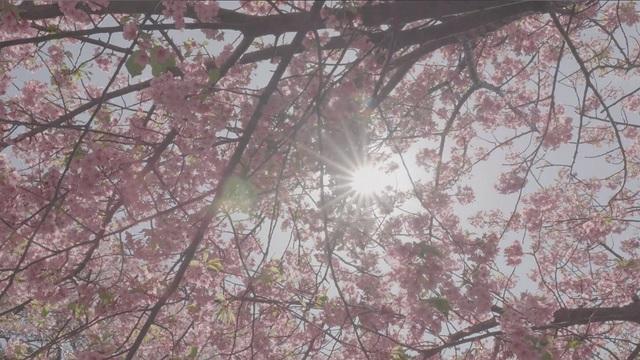 県 河津 桜 神奈川