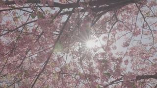 神奈川県三浦「河津桜」