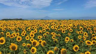 横須賀の「長井海の手公園 ソレイユの丘」で、約10万本のヒマワリが開花!