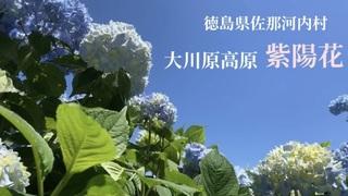 徳島県唯一の村!佐那河内村大川原高原 紫陽花