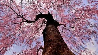 八王子市の桜スポット