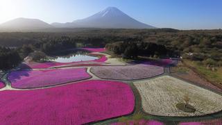 富士山&桜の海に包まれる春の絶景「2018 富士芝桜まつり」