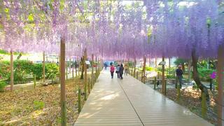 「江南藤まつり」で幻想的な藤のカーテンに包まれる大人のお花見