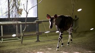 週末に行きたい。日本最大級「よこはま動物園ズーラシア」でオカピに出会う
