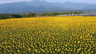 明野サンフラワーフェスの、夏を感じる黄色の絶景