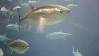 東京「葛西臨海水族園」で出合う圧巻のマグロ群泳