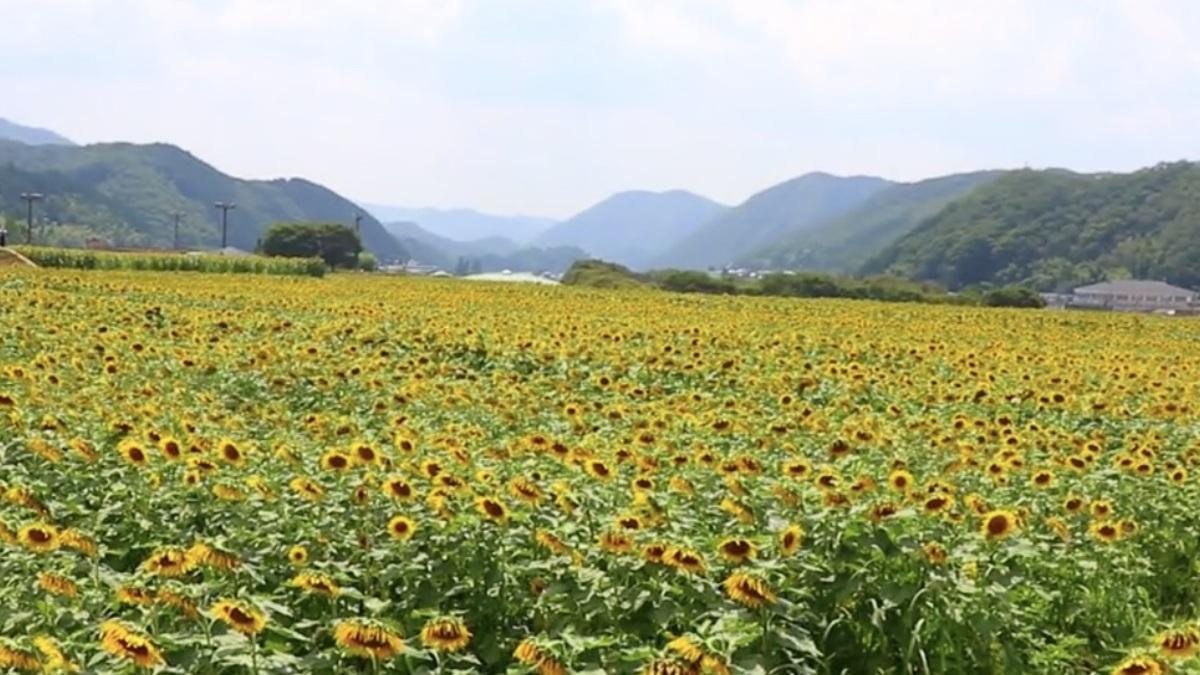 南光ヒマワリ畑